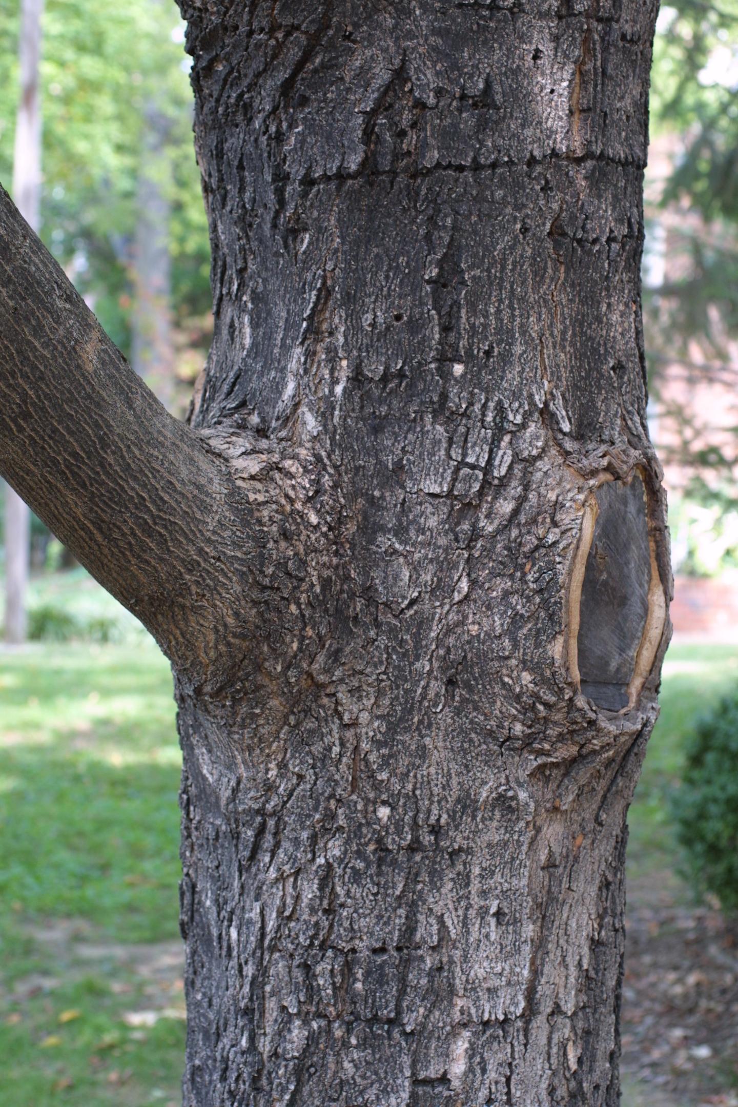 Acer nigrum (black maple) - NRE 436 (also EEB or ENVIRON)