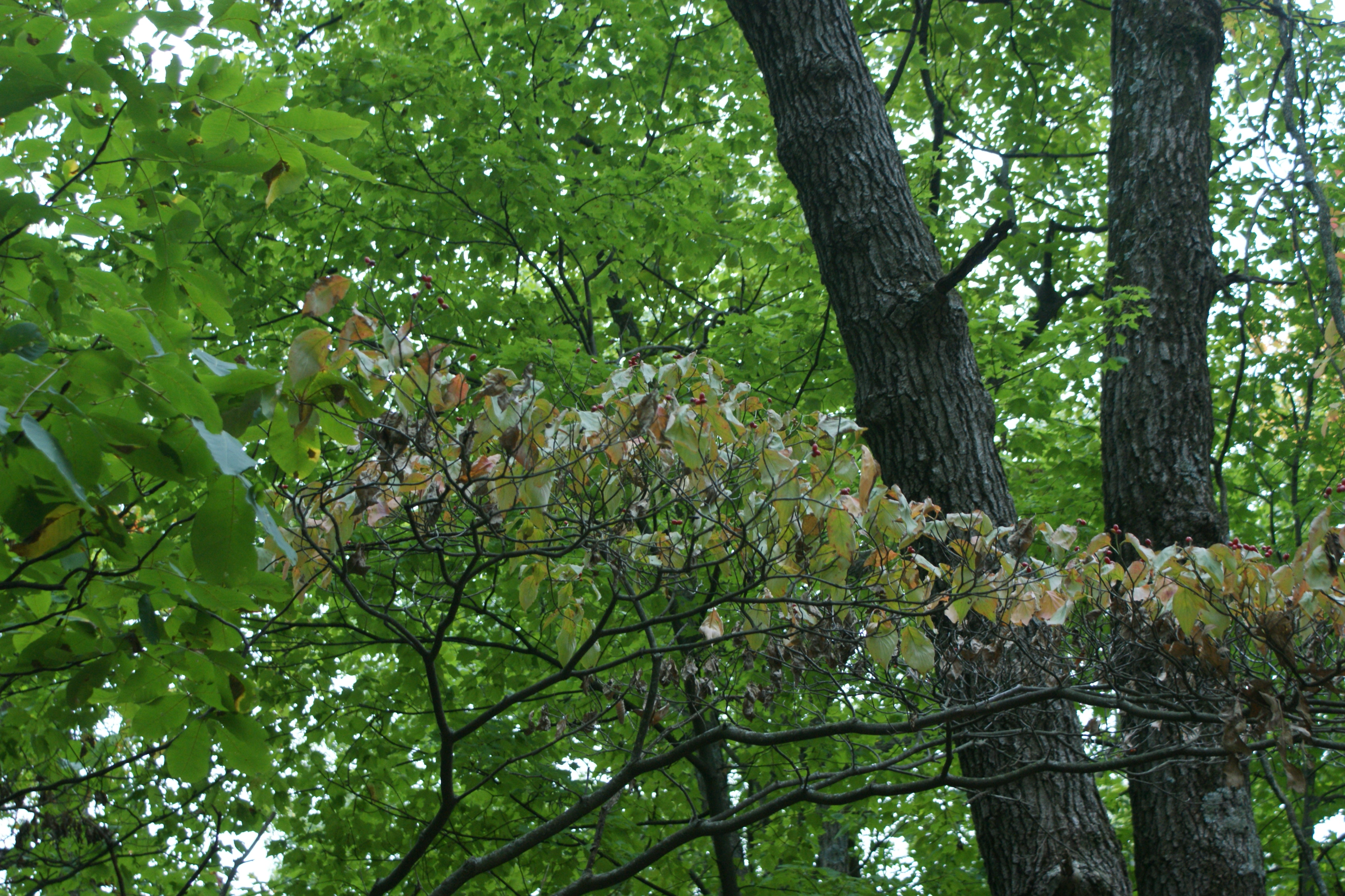 cornus florida flowering dogwood nre 436 also eeb or. Black Bedroom Furniture Sets. Home Design Ideas