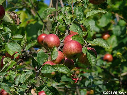 Malus Pumila Common Apple Nre 436 Also Eeb Or Environ