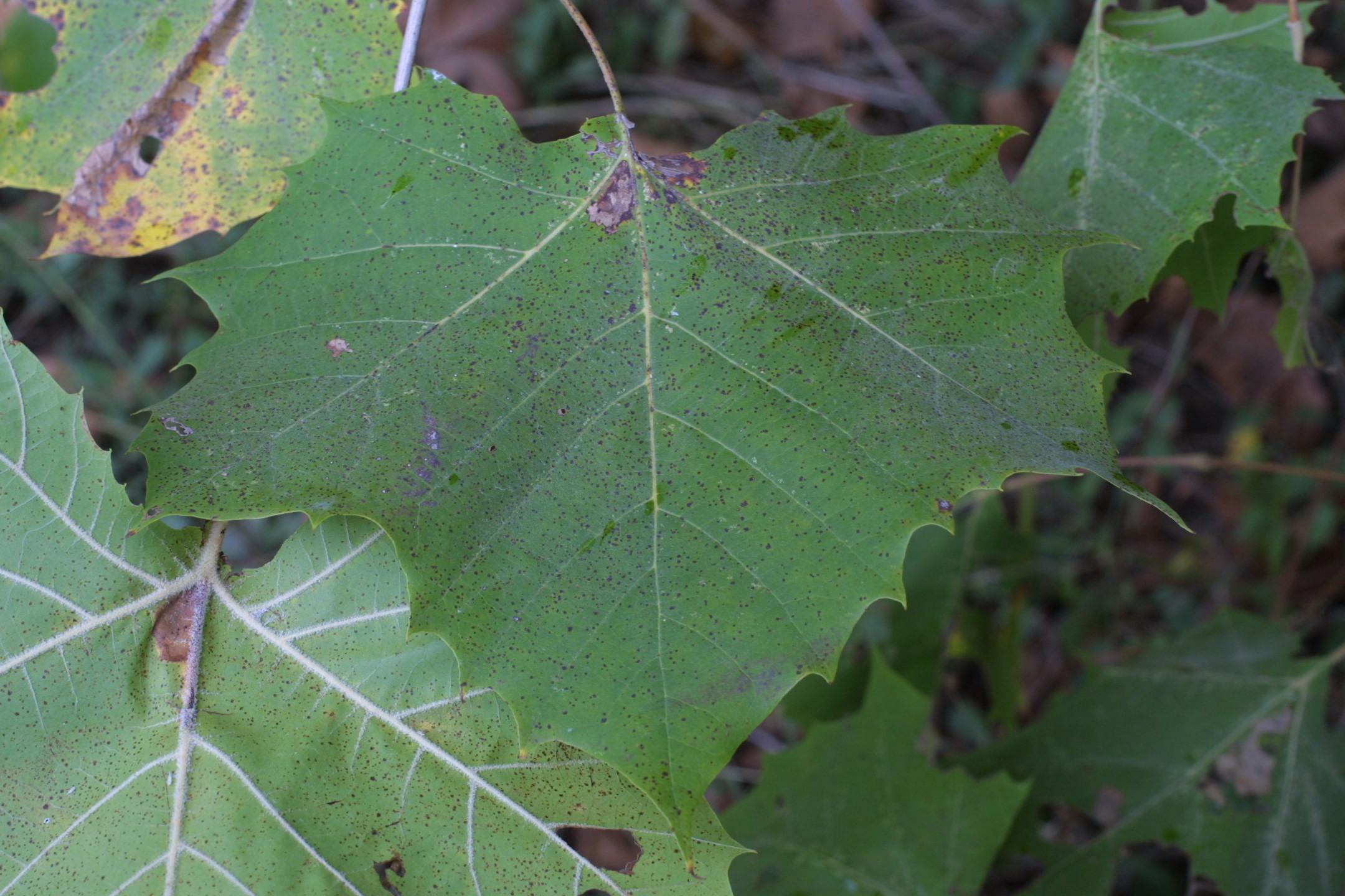 Platanus occidentalis (sycamore, American planetree) - NRE ... Platanus Occidentalis Leaf