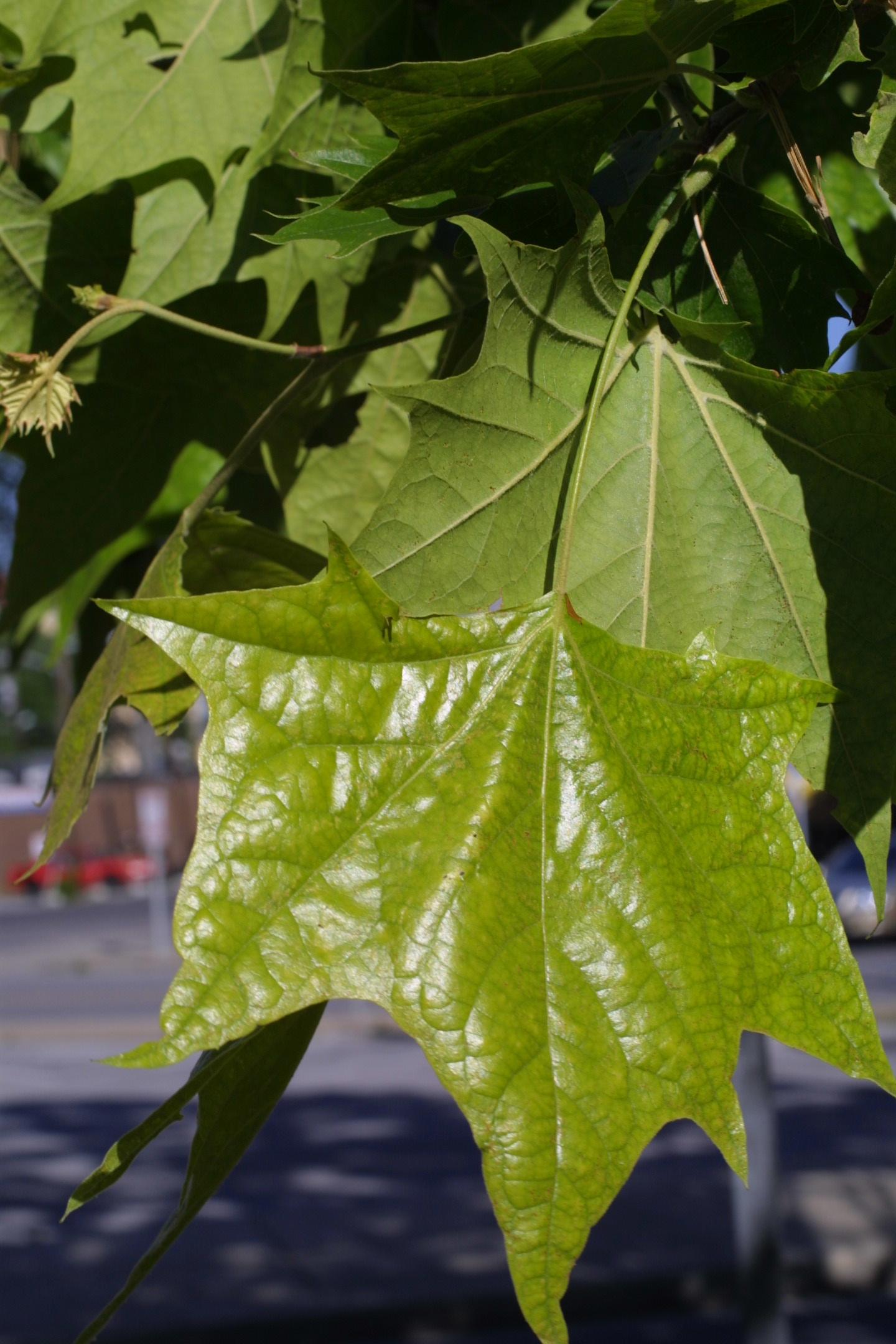 PicturesPlatanus Occidentalis Leaf
