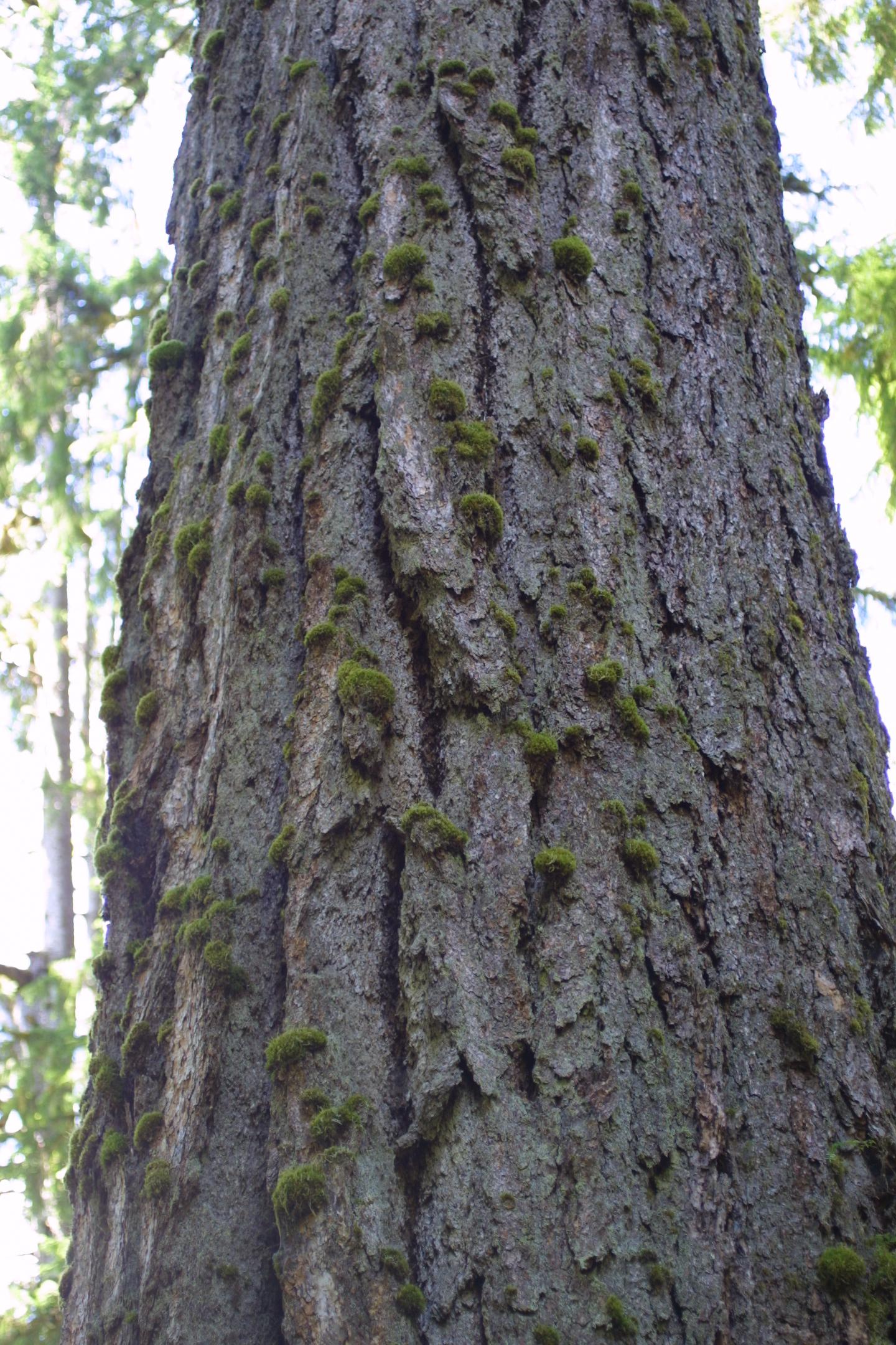 Pseudotsuga menziesii (Douglas-fir)