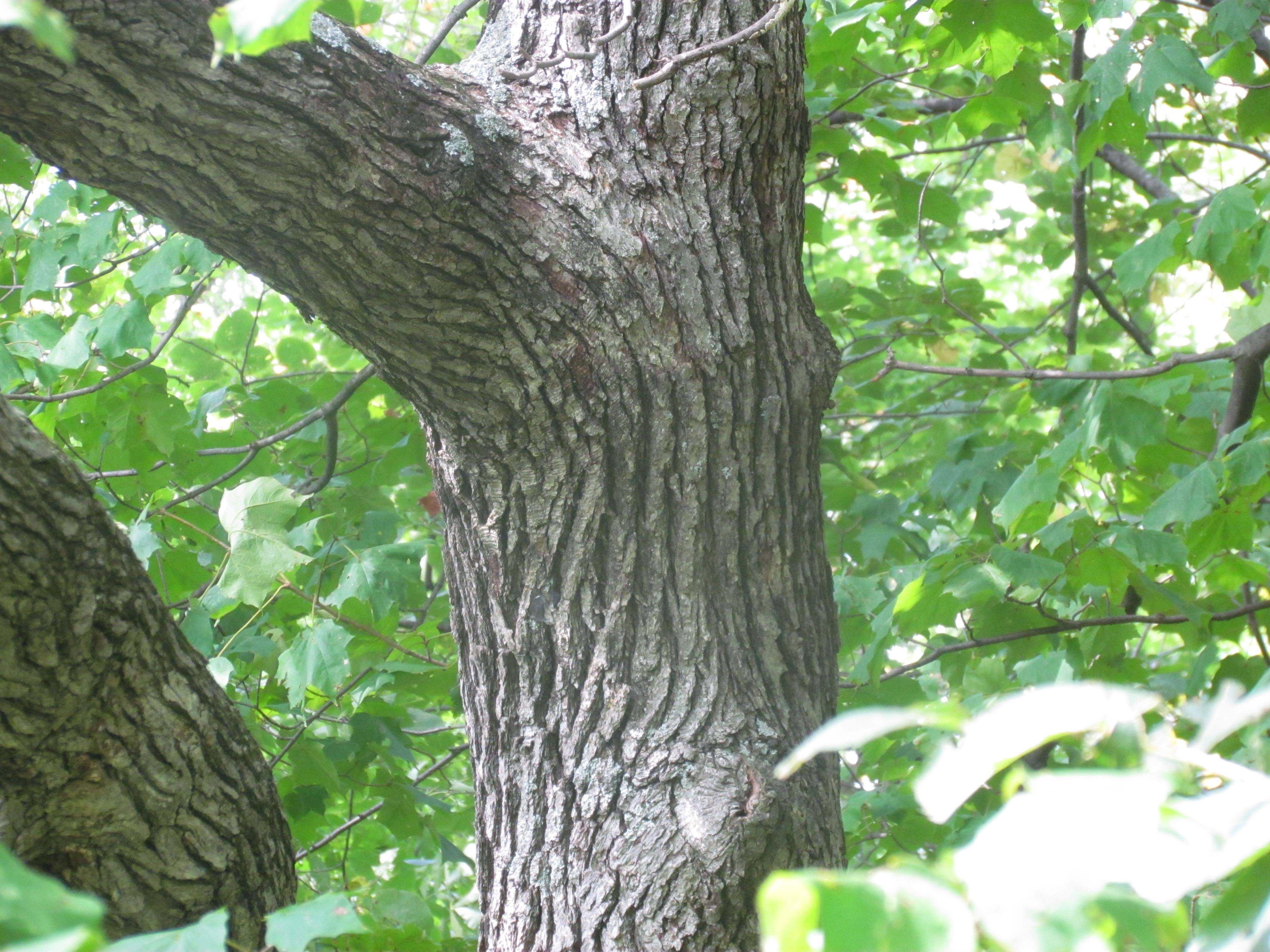 Quercus alba (white oak) - NRE 436 (also EEB or ENVIRON)  Quercus alba (w...