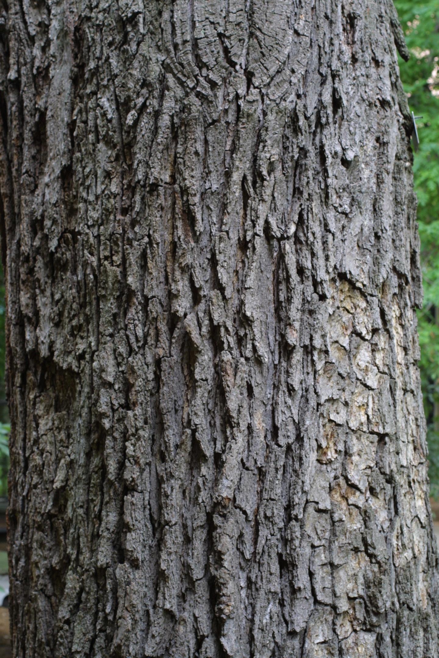 Quercus bicolor swamp white oak nre also eeb or