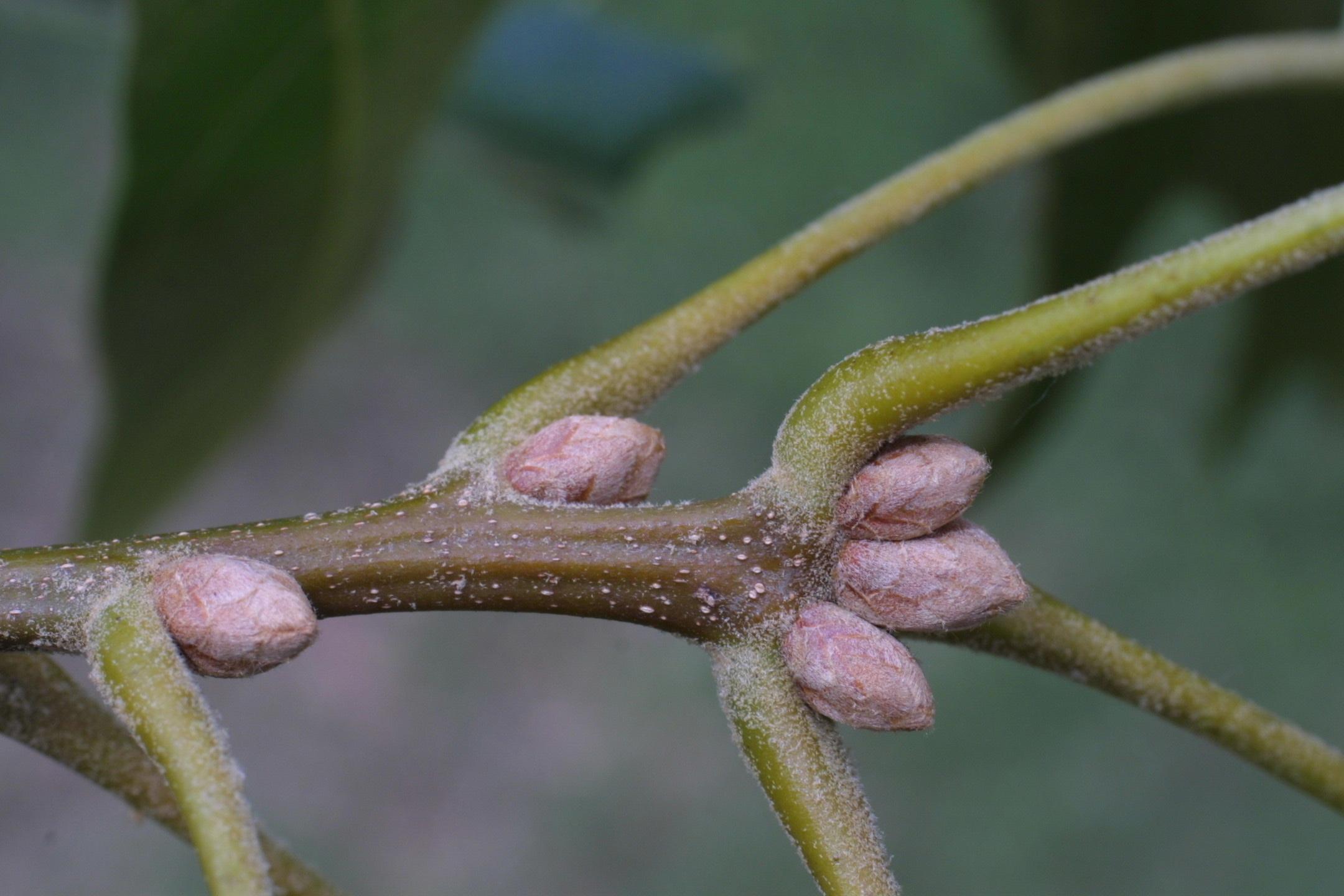 Home  gt  Labs   Hierarchy  gt  f  Fagaceae  gt  Quercus velutina  gt  wikiQuercus Coccinea Acorn