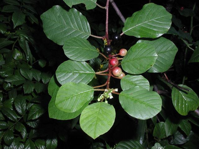 Rhamnus Frangula Glossy Buckthorn Nre 436 Also Eeb Or