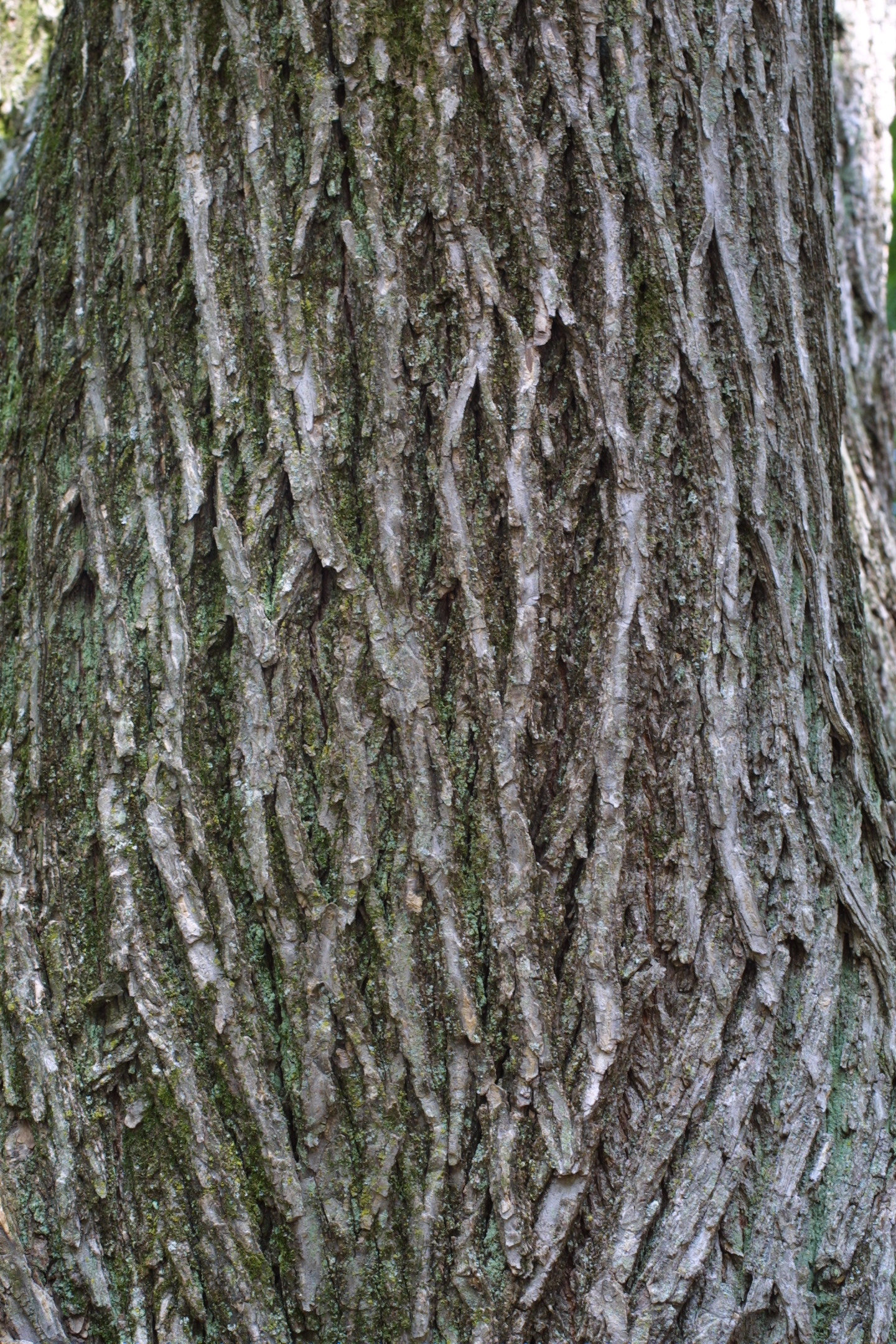 Ulmus americana american or white elm nre 436 also for American elm